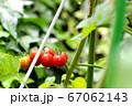 プチトマト_ミニトマト_収穫時 67062143