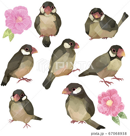 桜文鳥 67068938