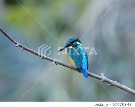 お気に入りの枝に止まって小魚を探すカワセミ幼鳥 67070348