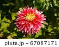 ダリア マ-チング フェスティバル 67087171