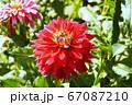 赤いダリア 67087210
