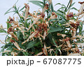 花が枯れた鉢植えのナデシコ 67087775