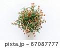 花が枯れた鉢植えのナデシコ 真俯瞰 67087777