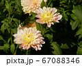 ダリア ピンク ドルフィン 67088346