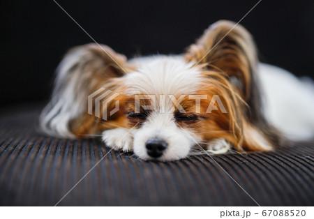 犬の「パピヨン」が黒いソファに横になって寝ている様子 67088520