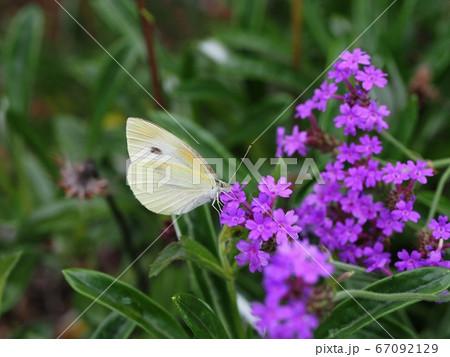 ヤナギハナガサ の蜜を吸うモンシロチョウ 67092129