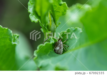 草の中に隠れるチャイロカメムシの幼虫 67092335