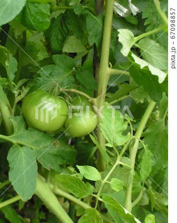 種から育てた大きくなったトマトの実 67098857