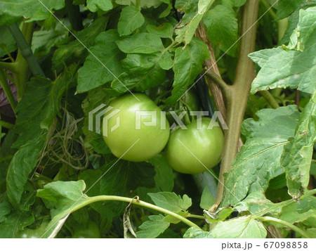 種から育てた大きくなったトマトの実 67098858