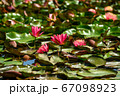 Red water lily AKA Nymphaea alba f. rosea in a lake 67098923