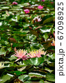 Red water lily AKA Nymphaea alba f. rosea in a lake 67098925