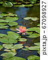 Red water lily AKA Nymphaea alba f. rosea in a lake 67098927