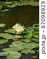 Red water lily AKA Nymphaea alba f. rosea in a lake 67098929
