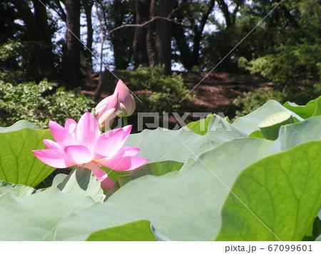 千葉公園のオオガハスの桃色の花 67099601