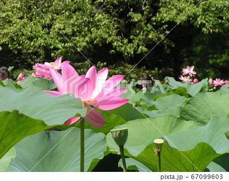 千葉公園のオオガハスの桃色の花 67099603