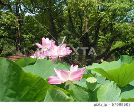 千葉公園のオオガハスの桃色の花 67099605