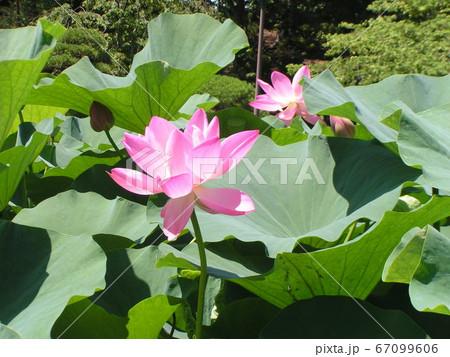 千葉公園のオオガハスの桃色の花 67099606