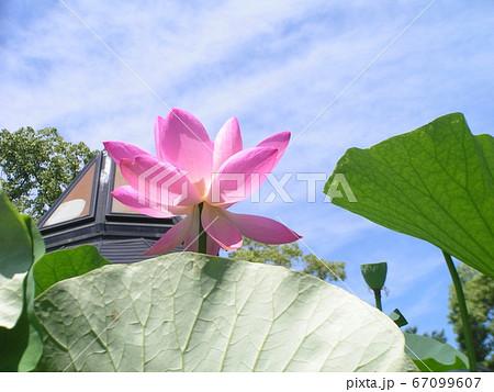 千葉公園のオオガハスの桃色の花 67099607