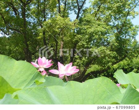 千葉公園のオオガハスの桃色の花 67099805