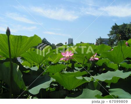 千葉公園のオオガハスの桃色の花 67099809