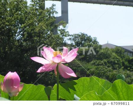 千葉公園のオオガハスの桃色の花 67099811
