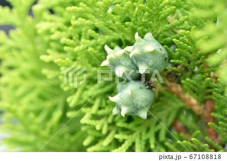 ゴールドクレスト(観葉植物)の実 67108818