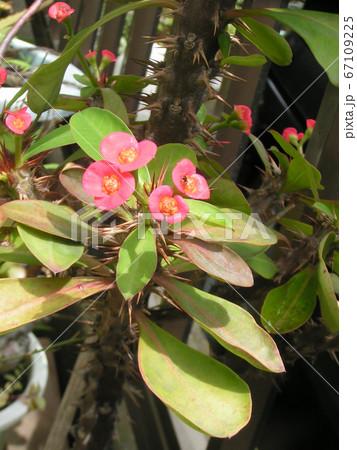 キリンのように細身の体の上に花を付けるハナキリン 67109225