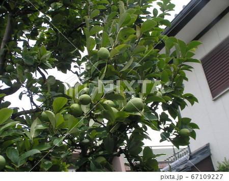秋になると黄色く熟す生食出来ないカリンの実 67109227