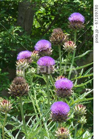 綺麗な花を咲かせるアーティチョーク 67109780