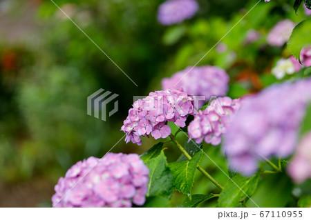 日本の宮城県仙台市「資福寺」で雨の中咲く美しい紫の紫陽花 67110955