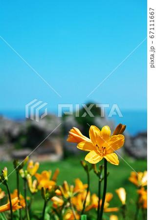 快晴の種差海岸で咲き誇るニッコウキスゲ 67111667
