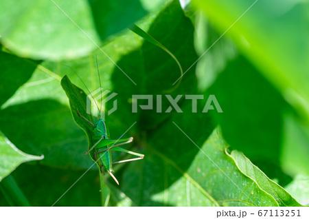 キリギリスの幼虫(メス) 67113251