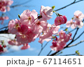 空を見上げる桜_近影 67114651