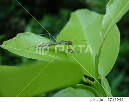 葉の上で獲物を待つカマキリの幼虫 67120444