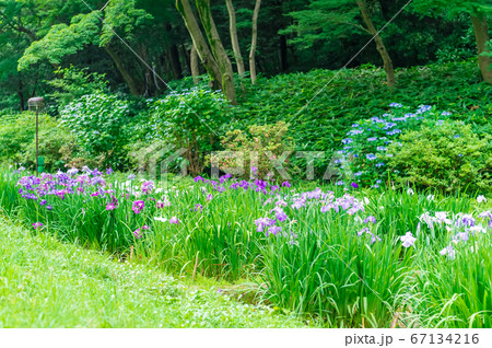 東京都渋谷区代々木にある公園に咲く桔梗とあじさい 67134216