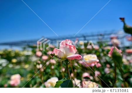 青空バックに咲く淡いピンクのグラーデーションのバラ@大阪 67135081