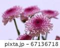 紫色のスプレー菊 薄紫色の背景 67136718