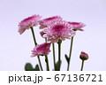 紫色のスプレー菊 薄紫色の背景 67136721
