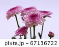 紫色のスプレー菊 薄紫色の背景 67136722