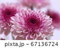 紫色のスプレー菊 クローズアップ 67136724