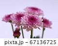 紫色のスプレー菊 薄紫色の背景 67136725