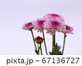 紫色のスプレー菊 薄紫色の背景 67136727