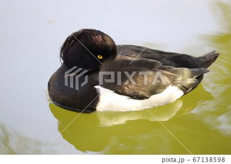 池でくちばしを羽毛で温めて休むキンクロハジロのオス 67138598