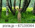 愛冠岬のエゾシカ 67139364