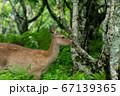 愛冠岬のエゾシカ 67139365
