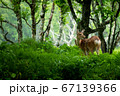 愛冠岬のエゾシカ 67139366
