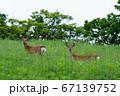 2頭のエゾ鹿 67139752