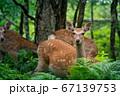 愛冠岬のエゾシカ 67139753
