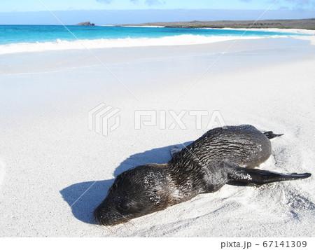 白い砂浜で眠るガラパゴスアシカの子供 67141309