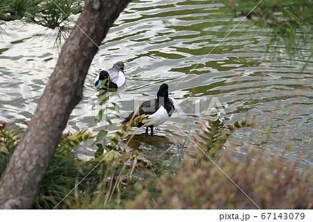 水辺に佇むキンクロハジロのオスと池で泳ぐスズガモのオス 67143079